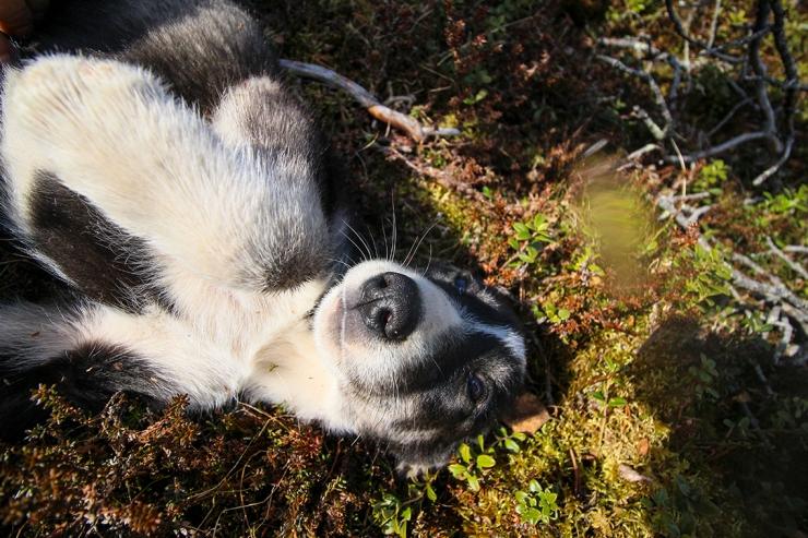Husky Puppy Walk 8