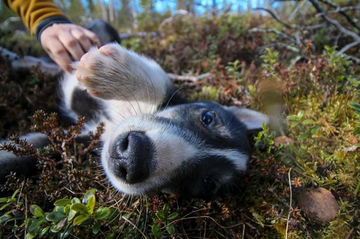 Husky Puppy Walk 9
